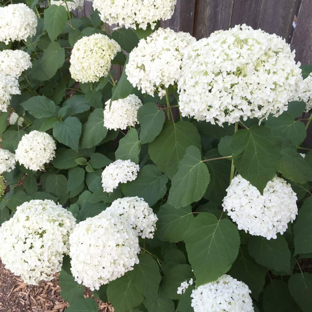 Hydrangeas Backyard Garden